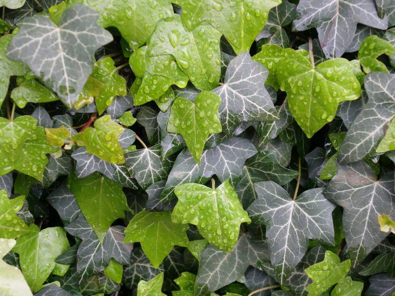 Bluszcz – wiecznie zielone pnącze, któremu oparcie zapewni stojąca podstawka na rośliny