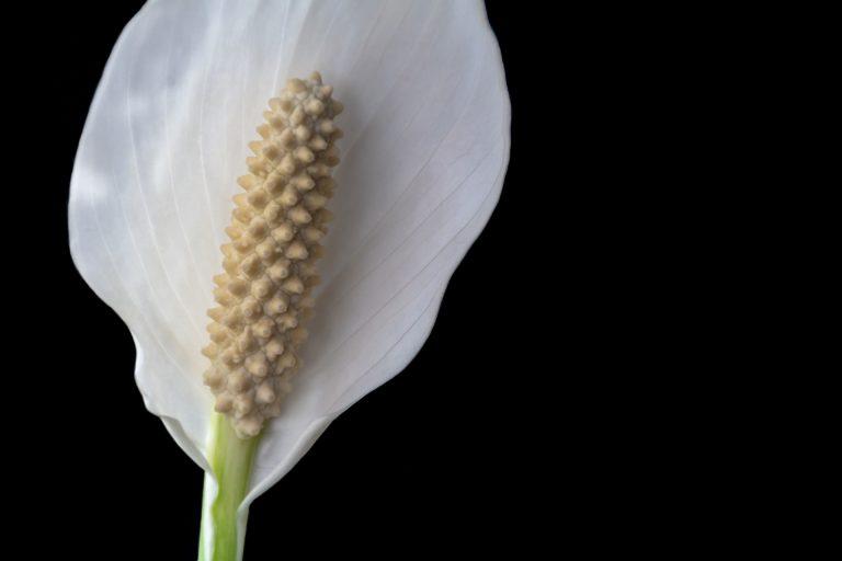 kwiaty przypominające ścięty kielich będą w centrum uwagi Twojej domowej dżungli, gdy postawisz go na podstawce na kwiaty